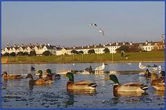 Ducks (G8lite) Tags: pentax crosby kx mallardducks crosbymarina g8lite