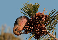 Where the heck is that seed? (martytdx) Tags: male birds birding january nj immature longbranch sevenpresidentspark coldashell whitewingedcrossbill loxialeucoptera loxia crossbills fingillidae