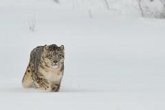 Snow Leopard in Snow (Ami 211) Tags: bigcats snowleopard unciauncia felidae pantherinae uncia snowleopardinsnow