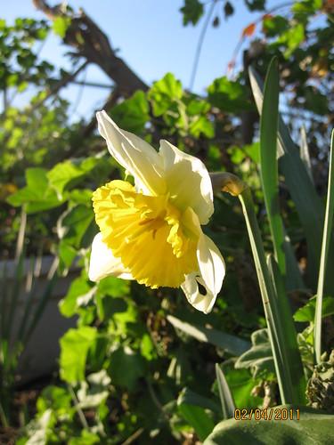 daffodil first