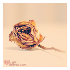 3 of 10 Days to Valentine's Day (Rox ) Tags: pink stilllife 3 flower macro love nature girl rose canon project happy eos 50mm donna soft dof singing bokeh song 10 girly feminine rosa natura days dettagli rox attention fiore amore valentinesday ragazza rossella lov meditative sanvalentino particolare attenzione dettaglio falleninlove progetto affetto morbido canzone 550d innamorata ottoohm inguscio deail 10dtvd ognipiccoloparticolare 10daystovalentinesday