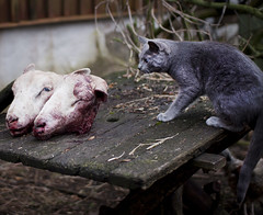pale blue eyes (heddar) Tags: animals cat dead sheep paleblueeyes slaught