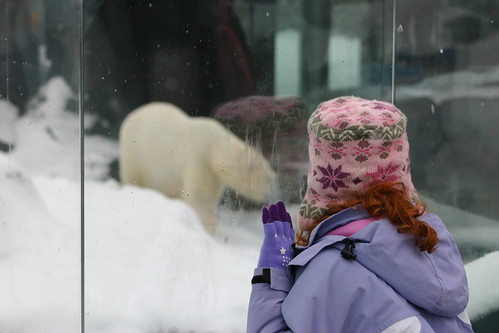 Watching the polar bear