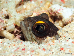 Gold-specs jawfish - Komodo, Indonesia