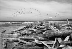 For the Birds... (The Nature of Things) Tags: canada beach britishcolumbia driftwood tofino pacificrimnationalpark andmyflockoffakebirds