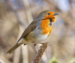 I  know another Robin :0) (Andrew Haynes Wildlife Images) Tags: nature robin wildlife perch coventry warwickshire brandonmarsh canon7d ajh2008
