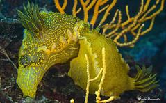 Hypselodoris Valenciennesi in love (Marco Paravella) Tags: love water mediterraneo mare foto underwater sub diving livorno gialla hypselodoris calafuria nudibranco sunkentreasureaward valenciennesi