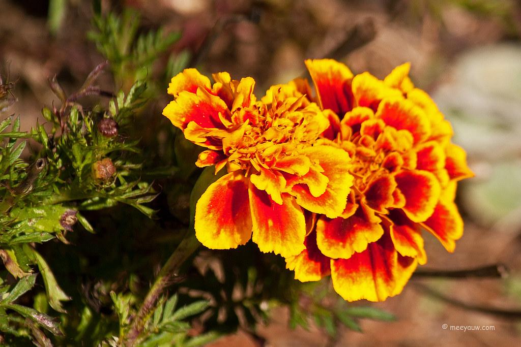Marigolds 4.jpg
