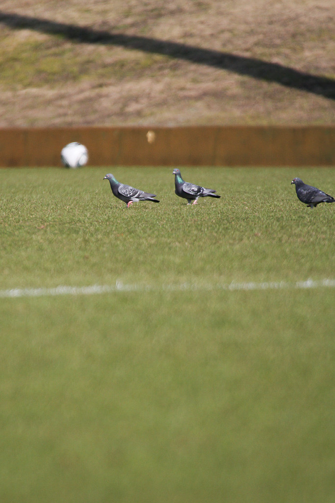 the pigeons in the ground