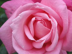 October rose (Katie-Rose) Tags: uk pink autumn rose october worcestershire katierose goldenbee fbdg canondigitalixus95is