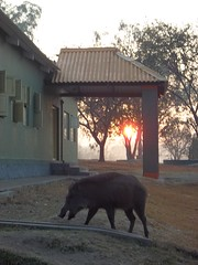 wild boar eating shit (travellersai) Tags: kerala treehouse wayanad teaestate wildboar bandipur chital vythri banasuradam soojiparafalls streamvalleyresorts