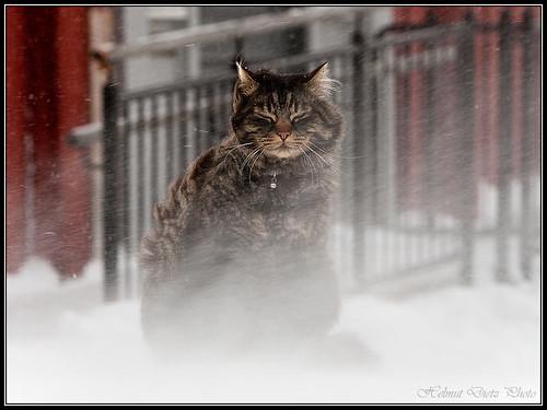 Røros: Katze im Schneesturm