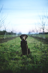 Sam (anthonyhelton.com) Tags: dogs lab labrador chocolate retriever canon50mmf14 5dii