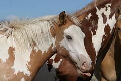 Wild horses---Oregon (calljohn3) Tags: horses horse nature oregon mare wildlife foal calljohn3