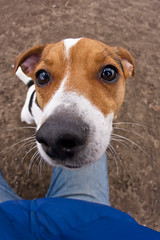 Nosy Terrier (Chase Hoffman) Tags: dog chien color cute co canon eos colorado wideangle canine denver perro terrier cao hund dogpark gae jackrussel cobaka inu kau gau canis sobaka canonef15mmf28fisheye 40d parsonrussel chasehoffman canoneos40d ku gu chasehoffmanphotography