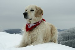 Enjoying the snow (Guido Havelaar) Tags: dog chien cute dogs cane goldenretriever puppy hound perro hund pup cao grcn caneimmagini fotosdoco fotosdelperro