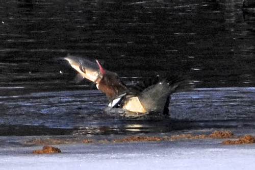 merganser eats huge fish