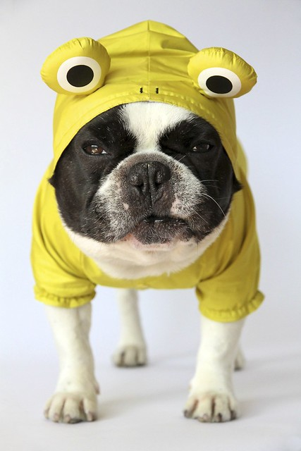 French Bulldog Chikuwa in his new frog raincoat