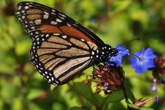 DSC_7768 (Mikey_TnT) Tags: park newzealand butterfly auckland albertpark d90 sigma105mm  nikond90