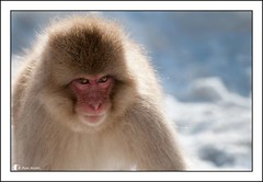 Snow Monkey (Ross_M) Tags: japan nikon mammals jigokudani snowmonkey d300
