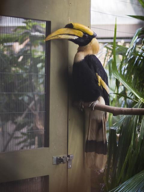 Concave Casqued Hornbill