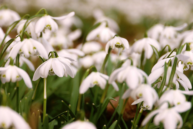The Snowdrop Walk at Hopetoun House
