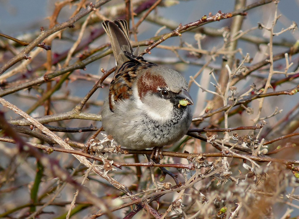 23938 - House Sparrow, Rhossili, Gower