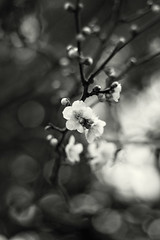 Ume (Chesky_W) Tags: bw flower bokeh plum ume    chesky ef50f18ii   eos40d