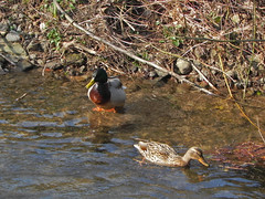 La nature se rveille (Edouard55) Tags: cane germany duck alemania mallard allemagne schwarzwald blackforest canard colvert badenwrttemberg stockente ortenau durbach badnerland durbachtalweg
