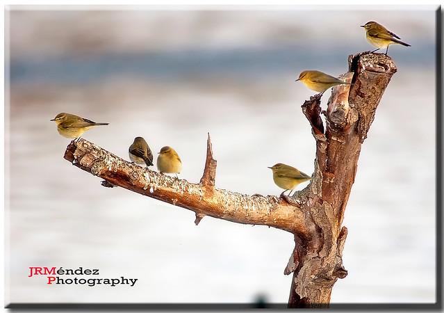 Mosquiteros en rama