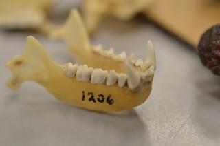 Commerson's Roundleaf Bat skull (Hipposideros ...