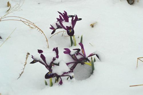 Miniature wildflower iris