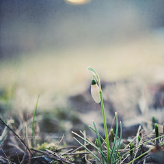 hope (carroll.mary (so behind I'll never catch up)) Tags: flower nature square spring squarecrop snowdrop galanthus happyhappyjoyjoy galanthusnivalis florabellaactionscarrollmary myfirstsignofspring