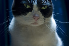 Blawi | The Gentle Art Of Making Enemies II (people.are.strange) Tags: blue cats white black green art animal animals cat canon table eyes feline kill looking you threatening bigotes gatos ojos gato felino animales primer plano gentle ppp enemies enemigos faithnomore accuse amenazante 450d primerisimo acusar blawi