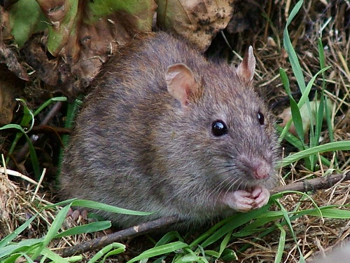 Rodents cause millions of dollars in damages to field crops, stored grain and farm equipment each year.
