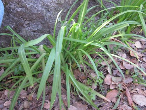 Wild Onion Lily