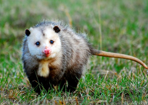 'Possum