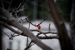 Lone ribbon in my dream (Daniele Nicolucci photography) Tags: red hope sadness loneliness dof sad bokeh branches dream dreaming future desaturated lonely ribbon nightmare doubt vignetting vignette
