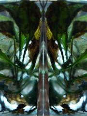 Water Mirror - Wasser Spiegel --- Aktion: Glas Wrfel Wasser ~ Glas Cube Water (hedbavny) Tags: vienna wien autumn winter summer plant reflection art water glass austria mirror sketch sterreich spring wasser underwater sommer spiegel kunst diary herbst jahreszeit pflanze sketchbook september note cube mementomori rotten transition root decomposition spiegelung tagebuch glas wrfel glaswrfel aktion frhling wurzel vanitas unterwasser undine verfall verwelkt skizze notiz melancholie radix wasserpflanze wasserspiegel skizzenbuch bergang wienvienna maigrn sterreichaustria glasscube aktionismus scheintod cmwdgreen transitio hedbavny ingridhedbavny
