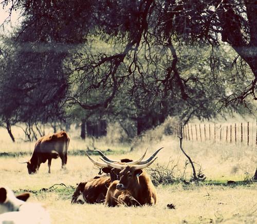 LonghornsSeventies
