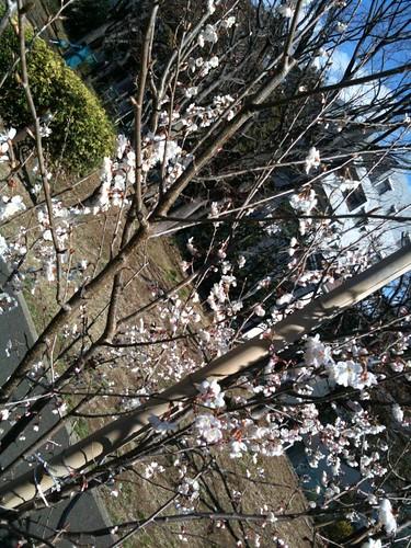 早咲きのさくら。