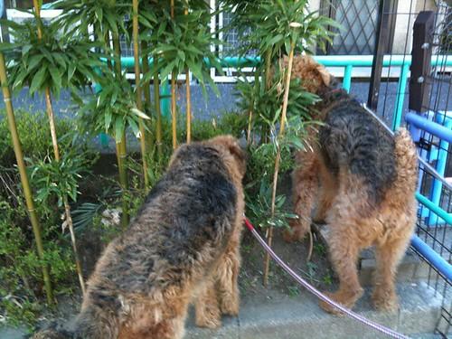 で、彼等は何をしているかというと、、笹を食べてます。。むしゃむしゃ。