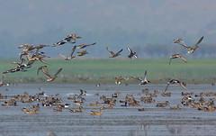 The mesmerizing and legendary Tangua Haor (wetland). . .01 (Sanjeed (NatureLover)) Tags: canon frame excellent bangladesh jps naturelover blr eos450d ef400f56l bdphtgrphrs naturephtgrphy officialnatgeo plsavenature hamimchowdhury highqltynature framebd bdschlphtgrphy