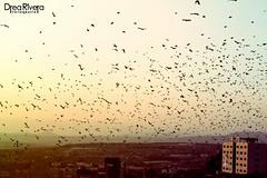 (Drea Rivera Fotografía) Tags: sunset sky birds atardecer pájaros cielo parvada