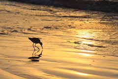 Breakfast (Ron Wooten) Tags: galveston bird beach gulfofmexico nature birds sunrise sand texas gulf ngc coastal worm worms galvestonisland waders gulfcoast wooten willet wader jamaicabeach wadingbirds coquina wadingbird coastalscenery coastalbirds coastallife shorelinebirds dailynaturetnc09 gulftnc09 dailynaturetnc10 lifetnc10 gulfconservation photocontesttnc11 dailynaturetnc11 birdstnc11 jamaicabeachtexas oceanstnc dailynaturetnc12 ronwooten ronwootenphotography