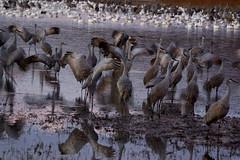 Sandhill Cranes Warming up for Take-off (sarowen) Tags: morning newmexico bird birds sunrise crane bosquedelapache sandhillcranes sandhillcrane wildliferefuge migratorybirds migratorybird bosquedelapachenationalwildliferefuge sanantonionewmexico sanantonionm