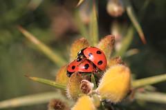 A Spot Of Lovemaking (Chris*Bolton) Tags: ireland macro nature insect spring ngc ladybird ladybug ladybugs wicklow ladybirds soe gorse supershot rathdrum bej golddragon anawesomeshot ballygannon theperfectphotographer goldstaraward