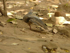 P1150518 (babsybou) Tags: travel india birds silent watching kerala du valley yatra sud inde attapadi birdswatching babsybou malleeshwaramjunglelodge pettickal