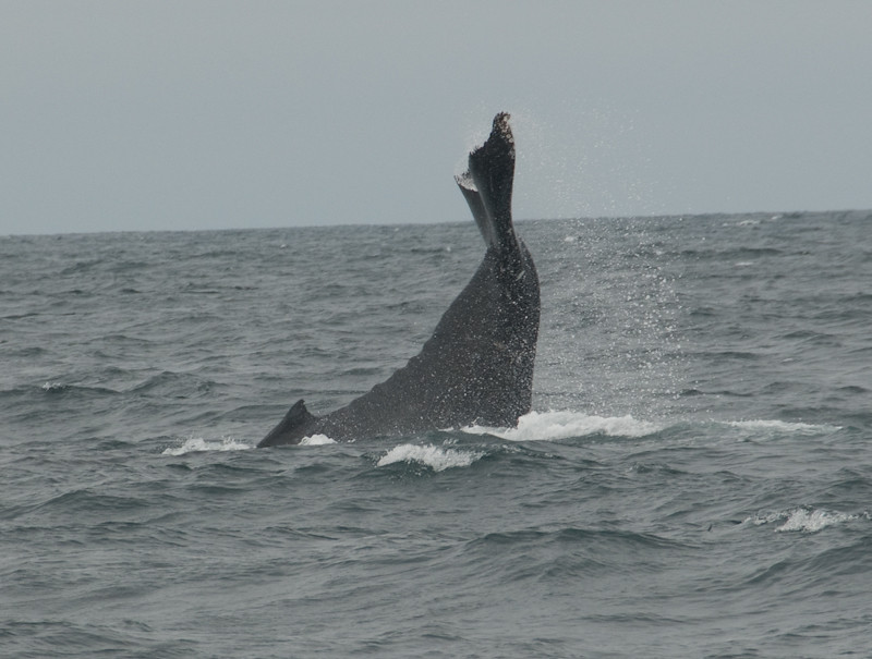 Humpback Whale Tail Slap in Monterey Bay