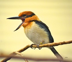 Micronesian Kingfisher (jt893x) Tags: bird female nikon kingfisher micronesian 55300mm d7000